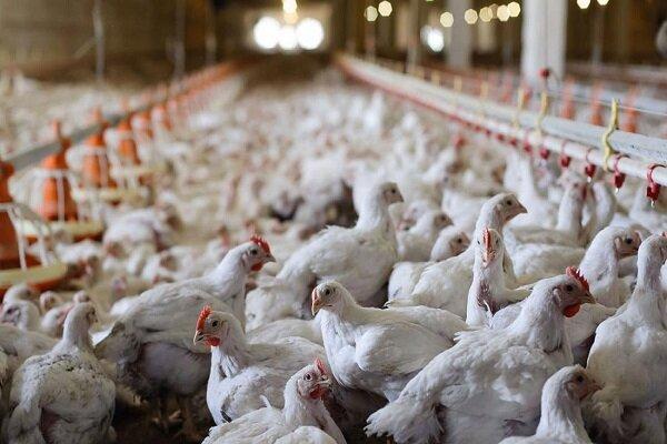 کشف احتکار ۷۰ هزار قطعه مرغ در گلستان