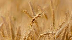 کشت ۳۶۸هزار هکتار گندم در اراضی گلستان